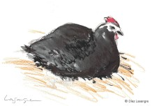 Hen ink drawing-02